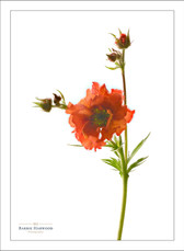 A Red Geum flower against a white background
