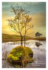 Lone tree of Kelly Hall Tarn