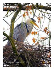 Grey Heron standing over nest