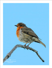 Robin on a small branch