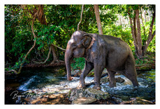 Asiatic Elephant walking along a small river in the jungle in Thailand