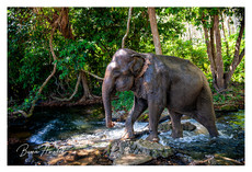 An Asiatic Elephant walks along a small jungle river in Thailand
