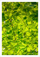 Dappled sublight filters through a canopy of Beech tree leaves