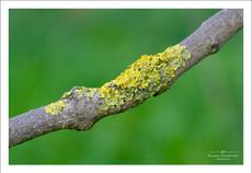 Lichen growing on a dead branch