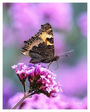 Small Tortoiseshell butterfly on Verbena