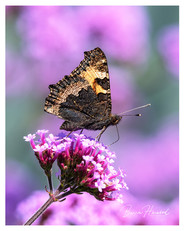 Small Tortoiseshell butterfly on Verbena