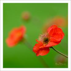 Red Geum