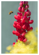 Bee and Red Lupin