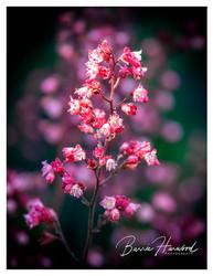 London Pride flower
