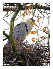 Grey Heron at the nest