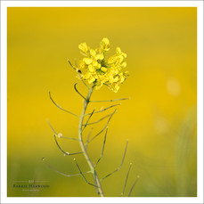 A flower head of Rape against a background of bright yellow Buttercups