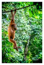 Wild Orangutan at Sandokan, Borneo