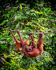 Mother and baby Orangutan in the rainforest in Sepilok, Borneo (wild)