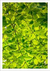 Beech tree leaf canopy