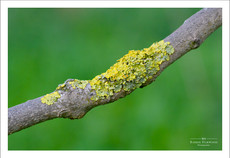 Lichen on a dead branch against a green foliage background
