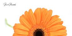 Orange Gerbera