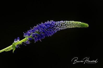 Blue flower (spp?)