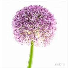 Purple Allium flower