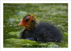 Newly hatched Coot