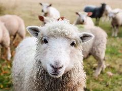 Sheep Ireland.jpg