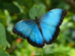 Common_Blue_Morpho_Butterfly2C_Missouri2