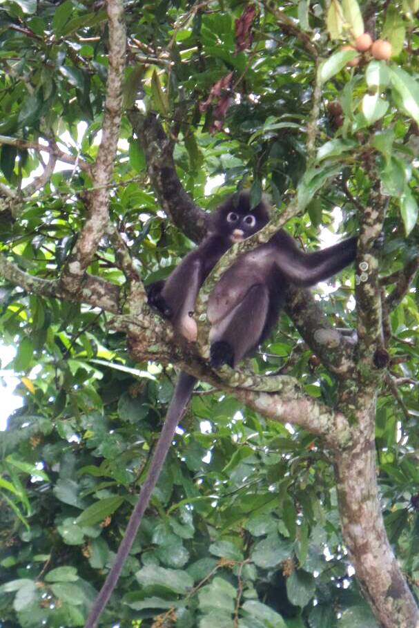 The elusive Dusky Leaf monkey hanging out in our backyard