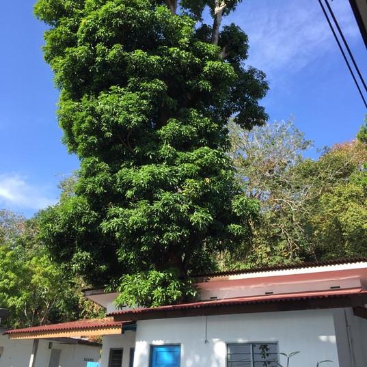 TBC Mango Tree.JPG