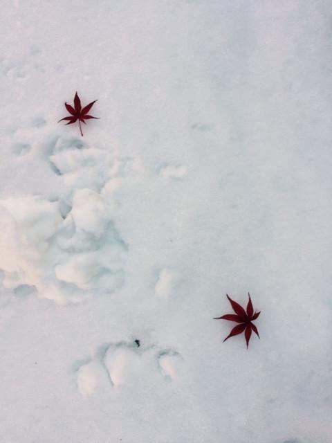 積雪 紅葉の葉