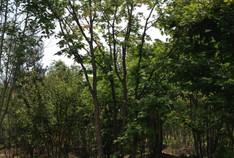 植木の町 稲沢へ