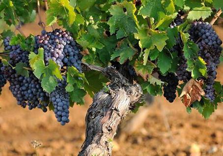 Les balades vigneronnes au Pont du Gard