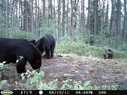 Canadian black bear hunts.JPG