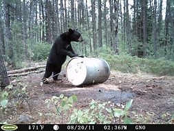 Ontario bear hunts.JPG