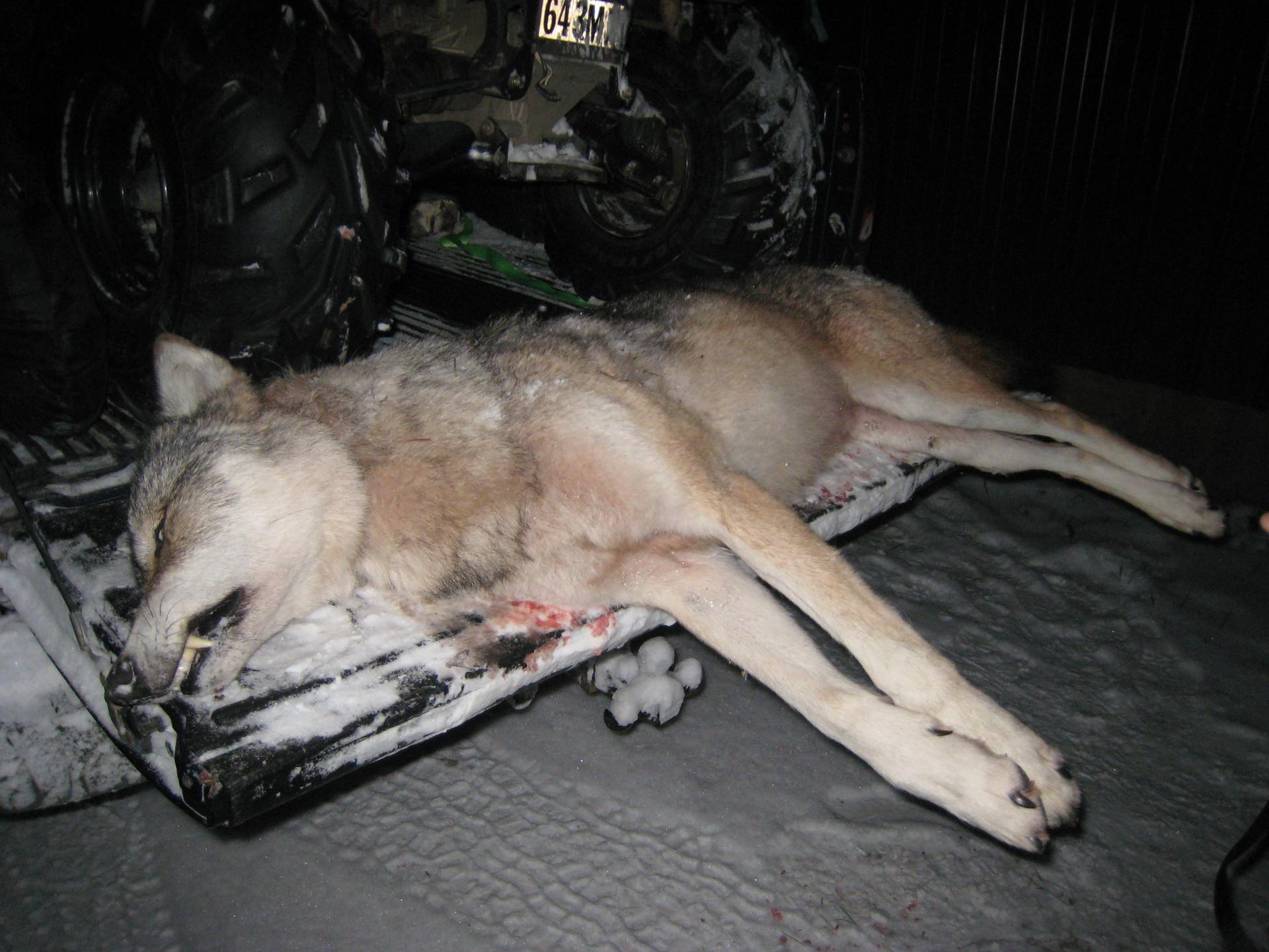 ontario wolf hunting