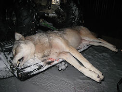 Ontario wolf hunting outfitter.JPG