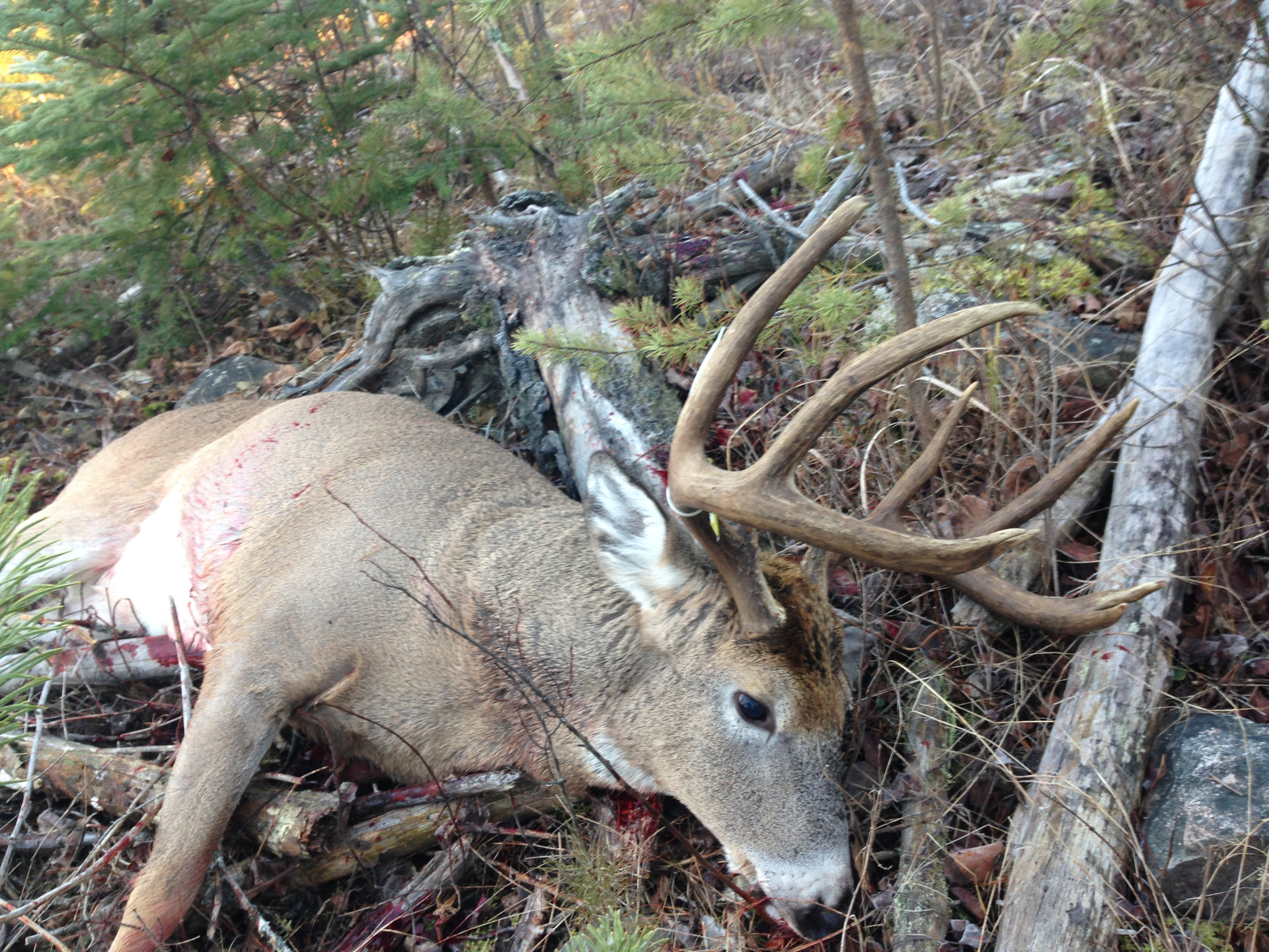 Trophy white tail Canada