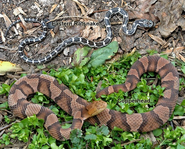 copperhead.png
