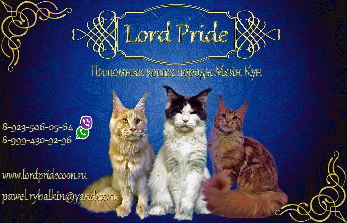 Питомник кошек породы Мейн-кун. Lord Pride.Лорд Прайд.Кошки. купить котенка. Мейн кун.