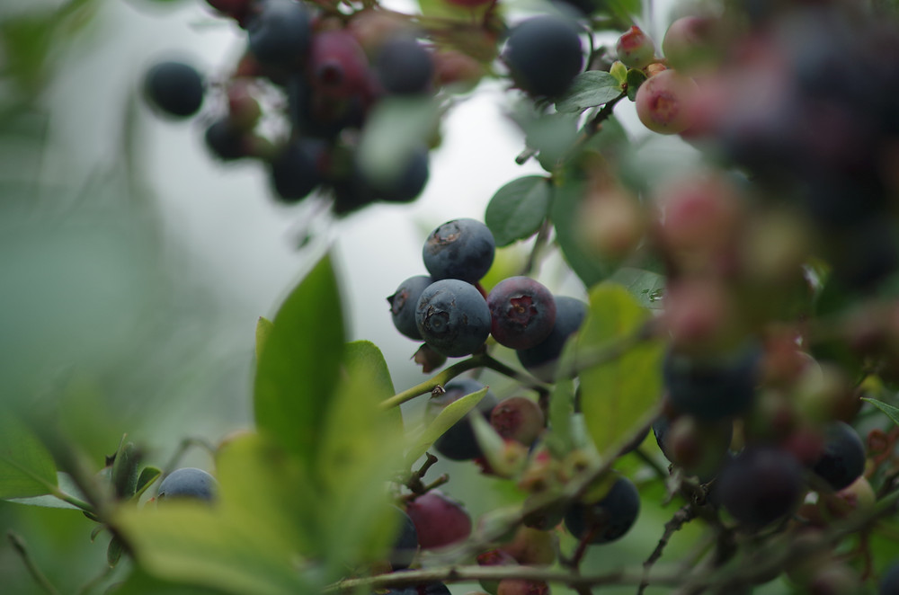 july 15 2013 blueberriesonbush.JPG
