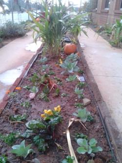 Chard, pansies, pumpkins, cabbage