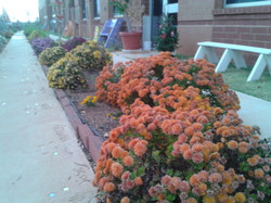 Mums and marigolds