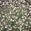 Thumbnail: Schleierkraut, in Rosa oder Weiss