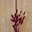 Thumbnail: Lagurus Bordeaux