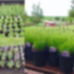 lavender plants for sale gallon pint til