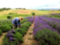 grandpa harvesting_edited.jpg