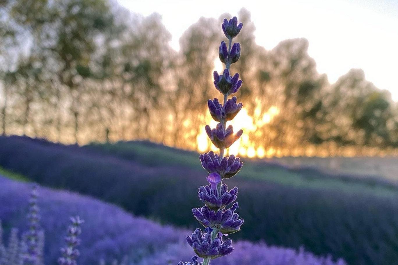 Lavender Mindfulness Meditation, July 11