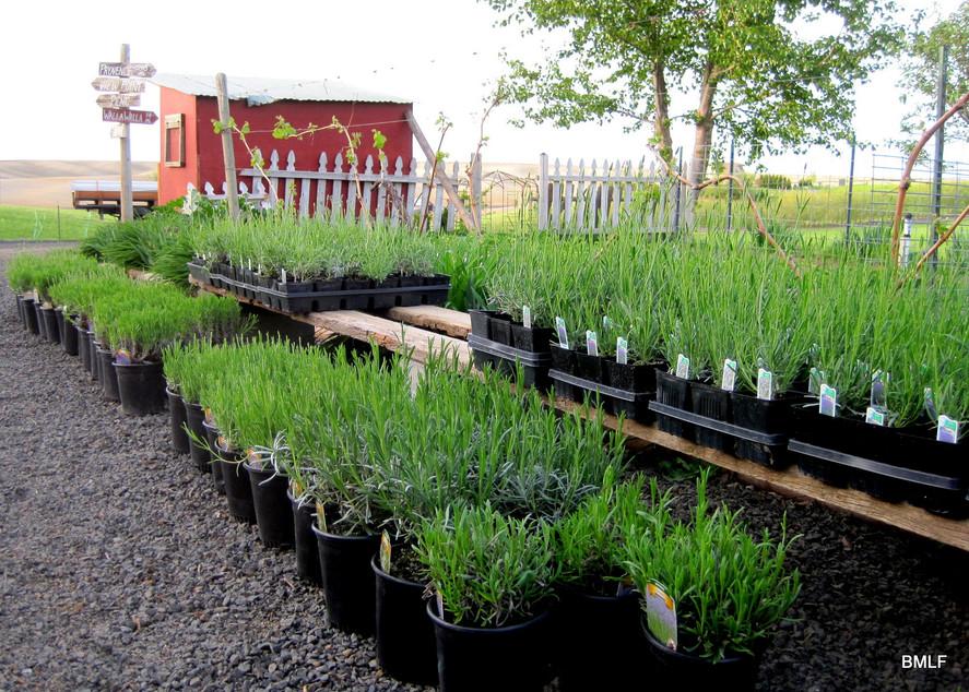 gallon plants.JPG