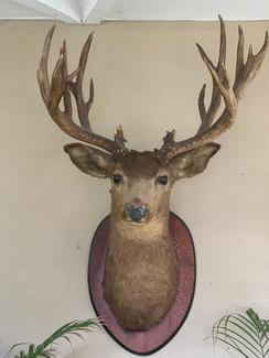 SOLD Large Mounted Deer Head