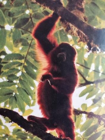 monos aulladores en otun quimbaya