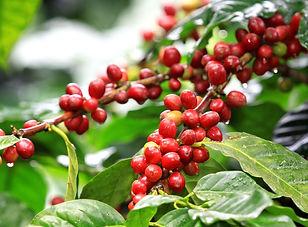 kcoffeeplant1.jpg