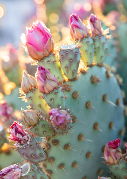 Desert blooms-3